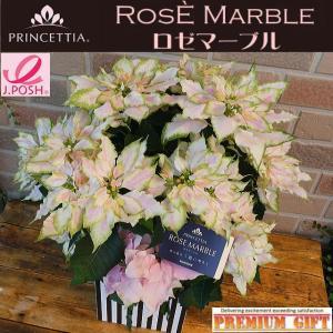 2019年の新品種 美しい八重咲きプリンセチア・ロゼマーブル 5号 オシャレなモノトーン鉢カバー入り 期間限定11月10日-12月20日|yummy