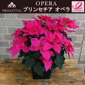 新品種サントリーの八重咲きプリンセチア・オペラ 5号鉢カバー付き|yummy