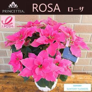 ワンランク上のポインセチア サントリーの八重咲きプリンセチア・ローザ 5号鉢カバー付き|yummy