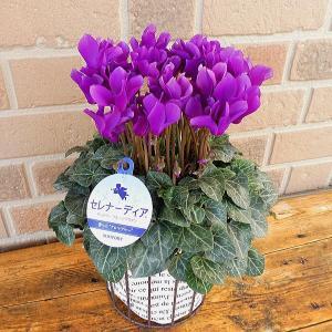 ブルー系シクラメン セレナーディア ほのかな甘い香りが楽しめる:アロマブルー 4号 オシャレなアイアン鉢カバー入り|yummy