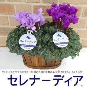 ブルー系シクラメン セレナーディア贅沢2品種セット:ライラックフリルとアロマブルー オシャレな鉢カバー入り|yummy
