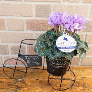 ブルー系シクラメン セレナーディア八重咲き:ライラックフリル オシャレなブリキのヨーロピアンサイクル鉢カバー入り|yummy