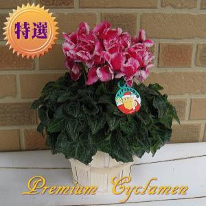 お歳暮等の冬のギフトに特選シクラメン プレミアムアバニコ 5号鉢カバー付き|yummy