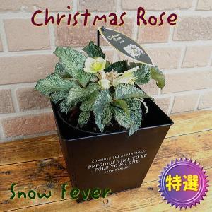 愛妻の日のプレゼントにもおススメ クリスマスローズの鉢植え スノーフィーバー 5号オシャレなブリキのスクエア鉢カバー入り|yummy