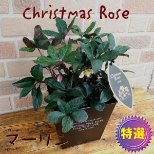 愛妻の日のプレゼントにもおススメ クリスマスローズの鉢植え マーリン 5号オシャレなブリキのスクエア鉢カバー入り|yummy