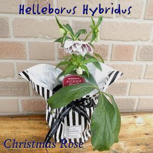 誕生日のプレゼントにもおススメ クリスマスローズ八重咲きの鉢植え 5号 RW|yummy