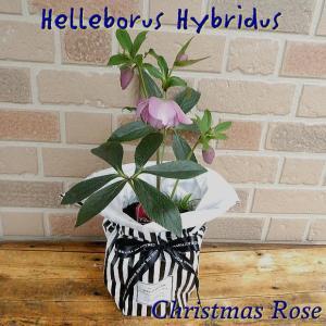 誕生日のプレゼントにもおススメ クリスマスローズ八重咲きの鉢植え 5号 P|yummy