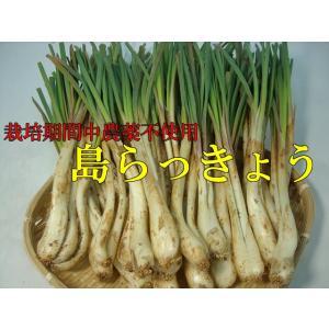島らっきょう 1kg 栽培期間中農薬不使用【2月下旬-4月ころ】