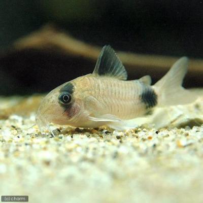 熱帯魚生体