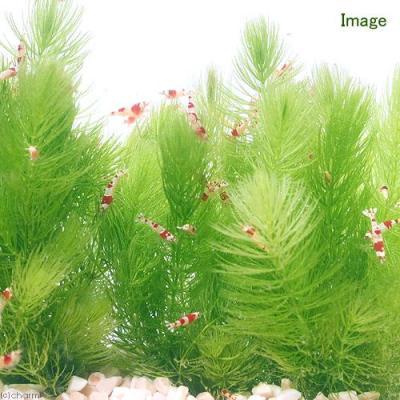 アクアリウム用水草