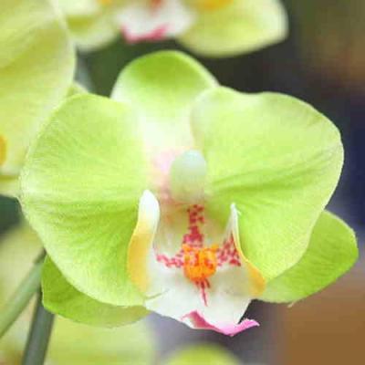 胡蝶蘭 (造花) 光触媒