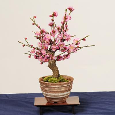 美しい花と優雅な香り……日本人に馴染み深い「梅」を育てよう!!
