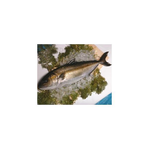 鹿児島産 カンパチ 1尾 3〜3.5kg前後 間八 かんぱち 産地直送