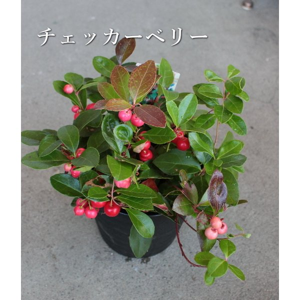 【SALE】紫陽花 フェアリーアイ ピンク 5号鉢 花傷みあり|agreable1999