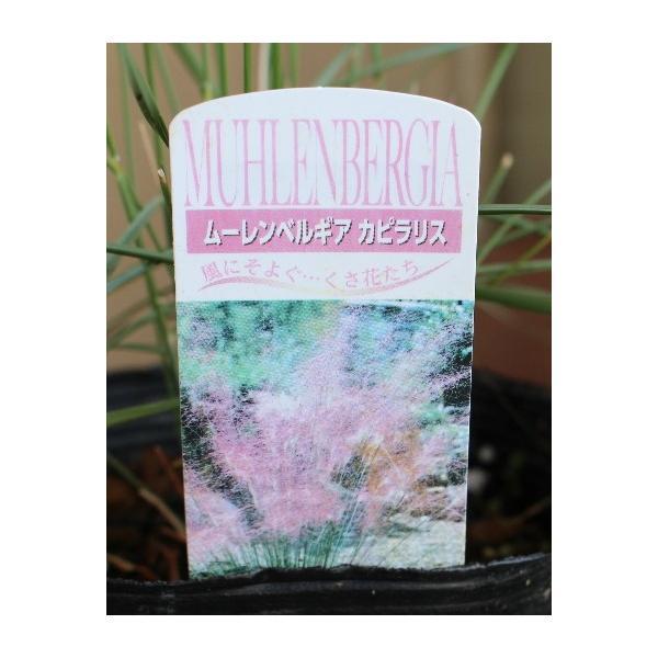 ミューレンベルギアカピラリス グラス 宿根草 15cmポット|agreable1999|02