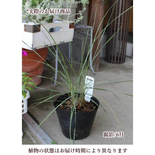 ミューレンベルギアカピラリス グラス 宿根草 15cmポット|agreable1999|03