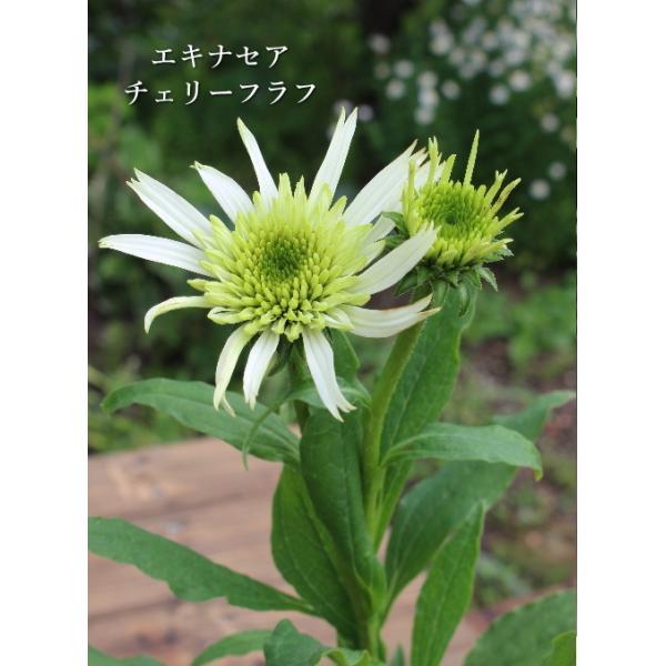 エキナセア チェリーフラフ 宿根草 お洒落なグリーンの花 4号ポット苗 ガーデニング 耐寒性多年草 寄せ植え 八重咲き