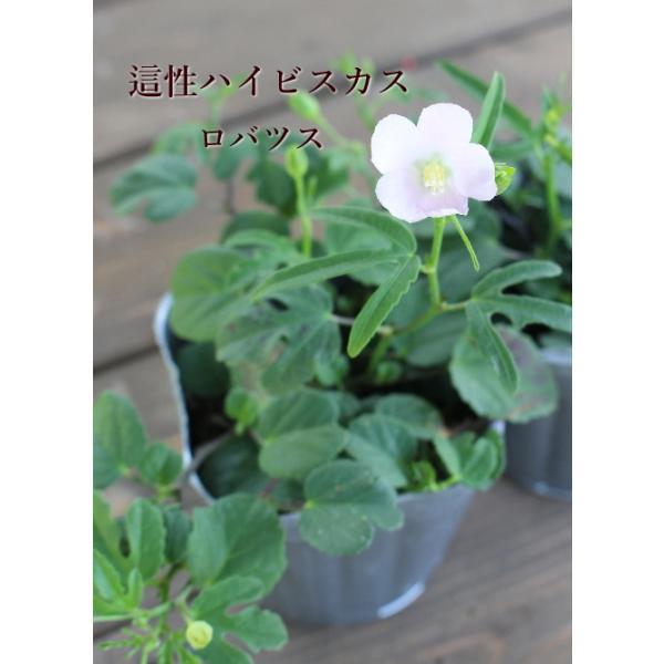 原種ハイビスカス ロバツス 這性 花苗 草花 夏の花  3号 2個セット 寄せ植え リース ハンギング 花壇