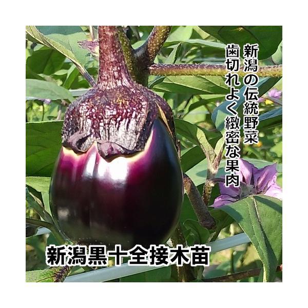接木なす苗 新潟黒十全 接木苗 緑ポット |akagefarm