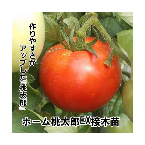 接木ホーム桃太郎苗 9cm黒ポット |akagefarm