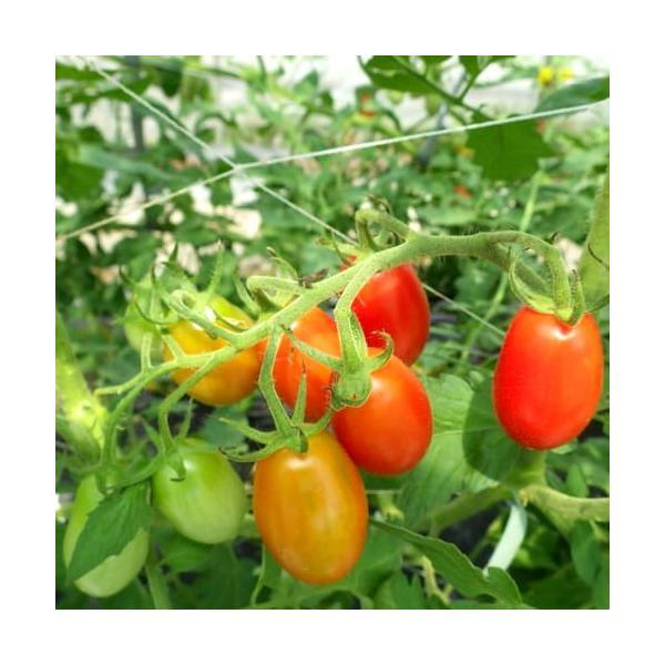 【マウロの地中海トマト】 ロッソナポリタン 接木苗  akagefarm 02