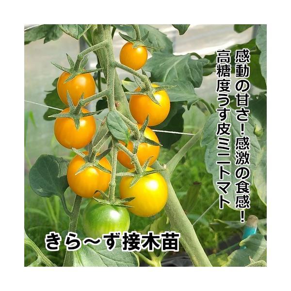 接木きら〜ず 苗9cm金ポット|akagefarm