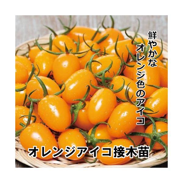 オレンジアイコ苗