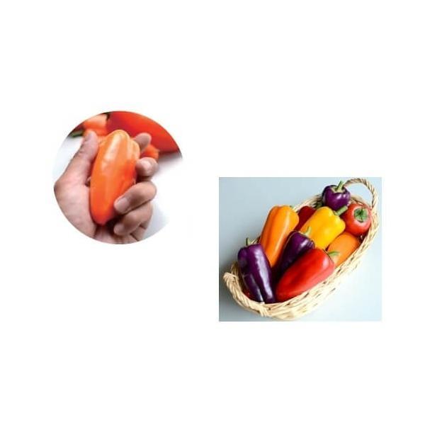 ちびパプ・オレンジ苗 9cm橙ポット|akagefarm|02