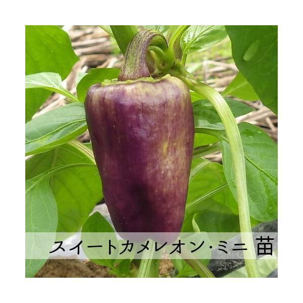 スイートカメレオン・ミニ苗 9cm紫ポット|akagefarm