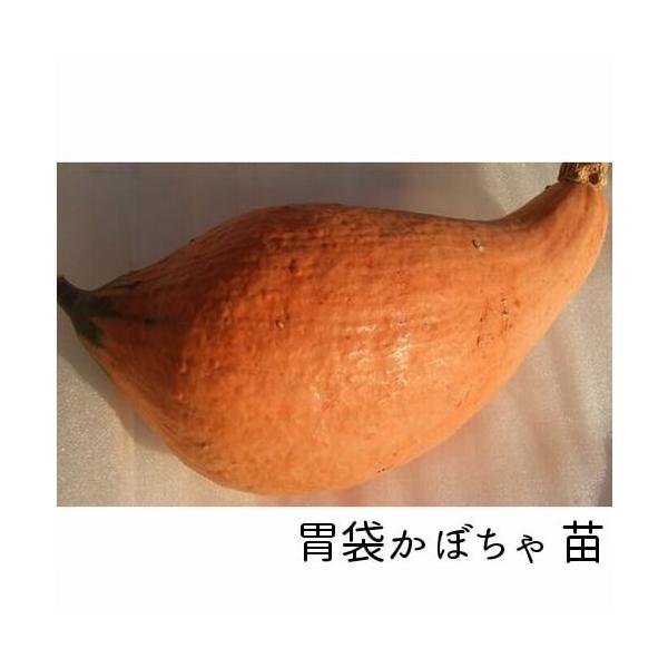 胃袋かぼちゃ苗