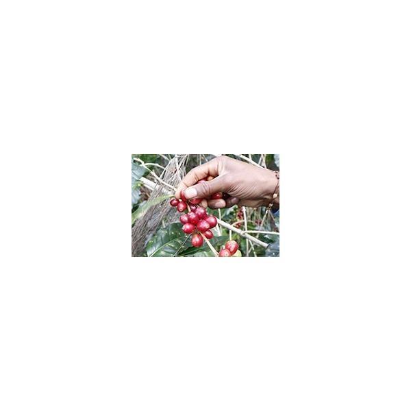 送料無料 自家焙煎 コーヒー 郵送できる ドリップバッグ 11g × 10袋入 徳用 オーガニック 東ティモール フェアトレード スペシャルティ シングルオリジン|amisbazar-jp|07