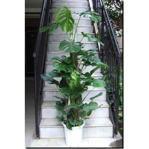 観葉植物 大型 モンステラ 10号鉢