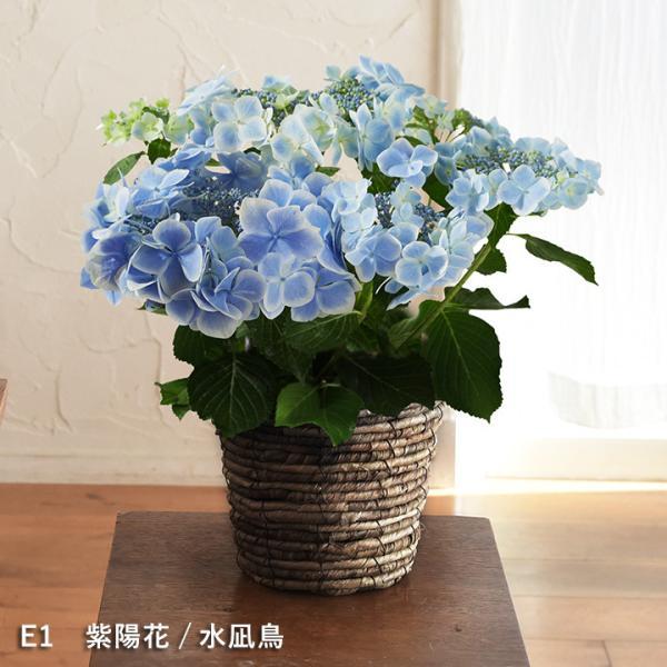 2019 母の日ギフト 選べるアレンジメント Merci メルシー 母の日 花 カーネーション 花束 鉢植え【送料無料】|angers|12
