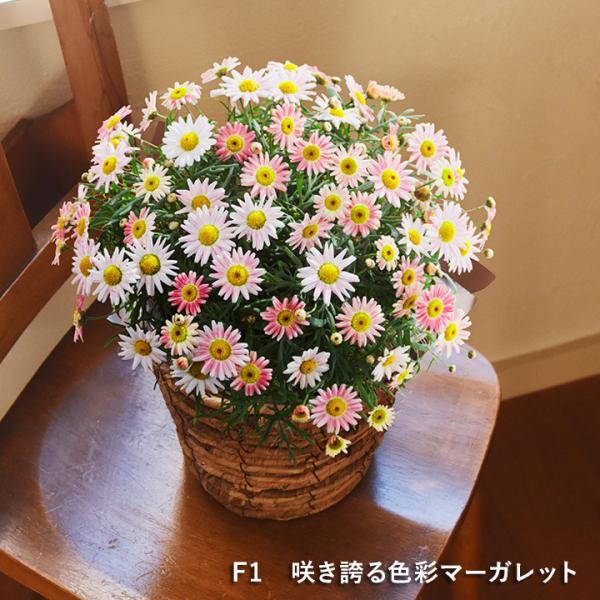 2019 母の日ギフト 選べるアレンジメント Merci メルシー 母の日 花 カーネーション 花束 鉢植え【送料無料】|angers|13