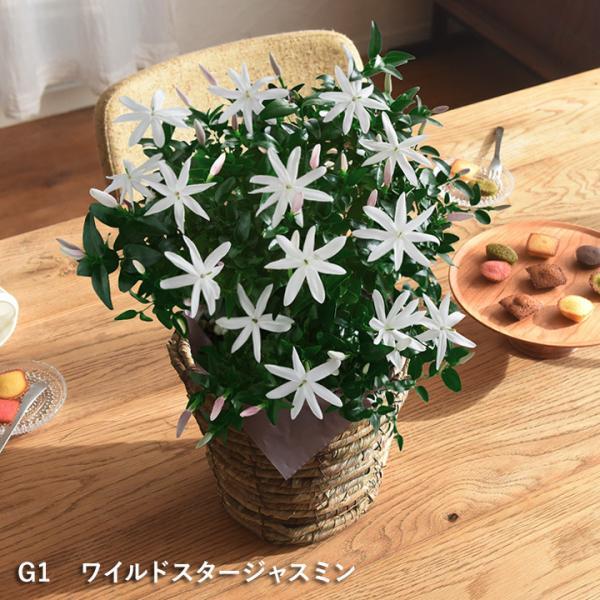 2019 母の日ギフト 選べるアレンジメント Merci メルシー 母の日 花 カーネーション 花束 鉢植え【送料無料】|angers|14