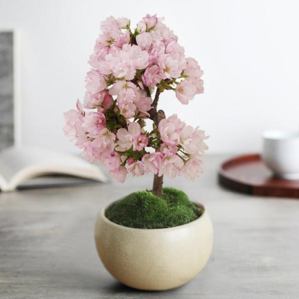 旭山桜の盆栽【送料無料】 |angers