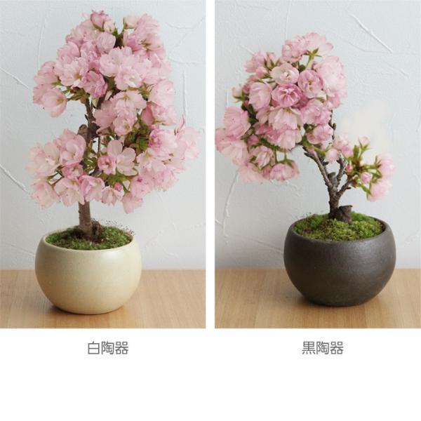 旭山桜の盆栽【送料無料】 |angers|02