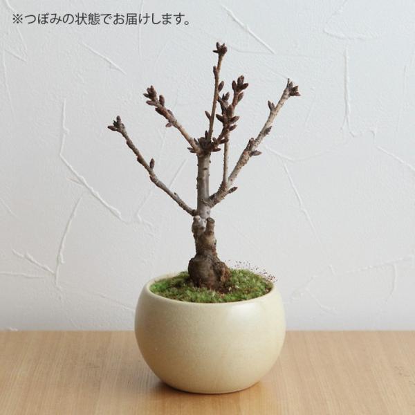 旭山桜の盆栽【送料無料】 |angers|03