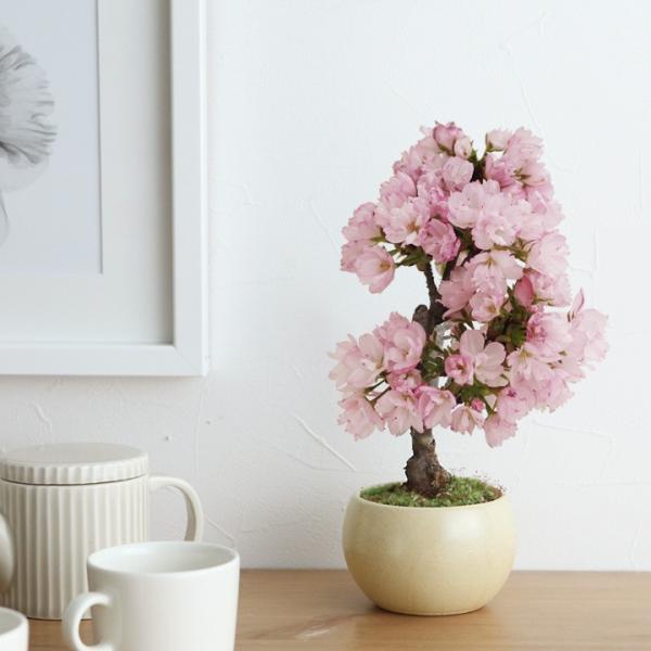 旭山桜の盆栽【送料無料】 |angers|04