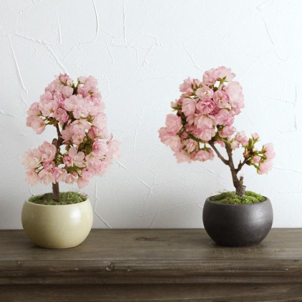 旭山桜の盆栽【送料無料】 |angers|05