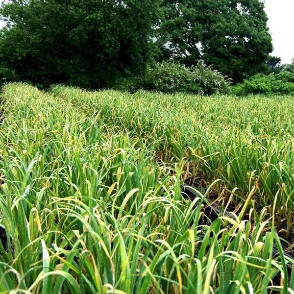 にんにく 青森県産 にんにく1kg SML混合 土付き 令和元年度産 福地ホワイト六片種|aomorihiba|02