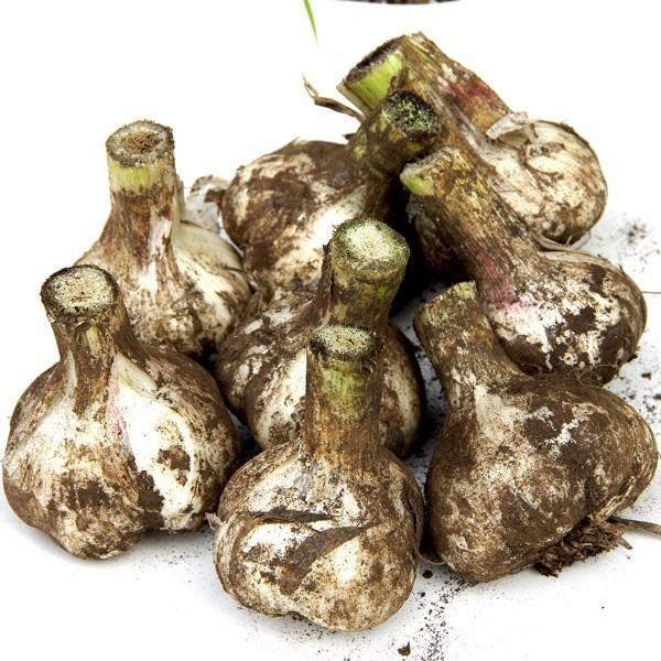 にんにく 青森県産 にんにく1kg SML混合 土付き 令和元年度産 福地ホワイト六片種|aomorihiba|06