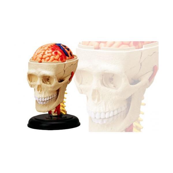 立体パズル 4D VISION 人体解剖 No.04 頭解剖モデル