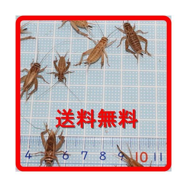  送料¥350ポスト投函  えさ用ヨーロッパイエコオロギ MLサイズMIX 50匹(トカゲ、ヤモリ、…