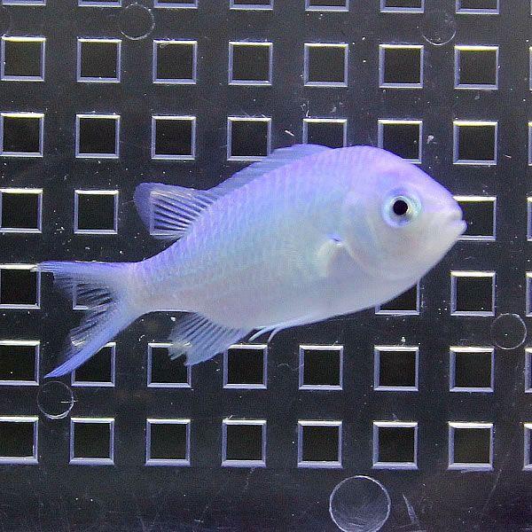  デバスズメダイ (A-0009) 海水魚 サンゴ 生体