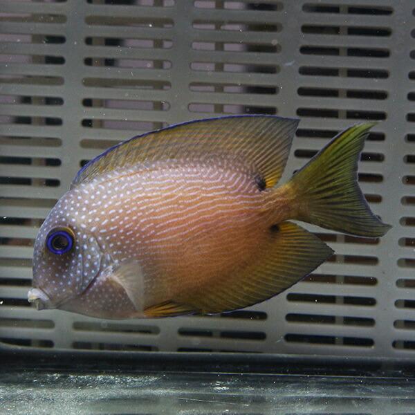 サザナミハギ 6-8cm± 海水魚 ハギ! 餌付け15時までのご注文で当日発送 ...