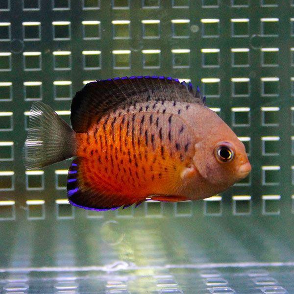  アカハラヤッコ 4-6cm±(A-0223) 海水魚 サンゴ 生体