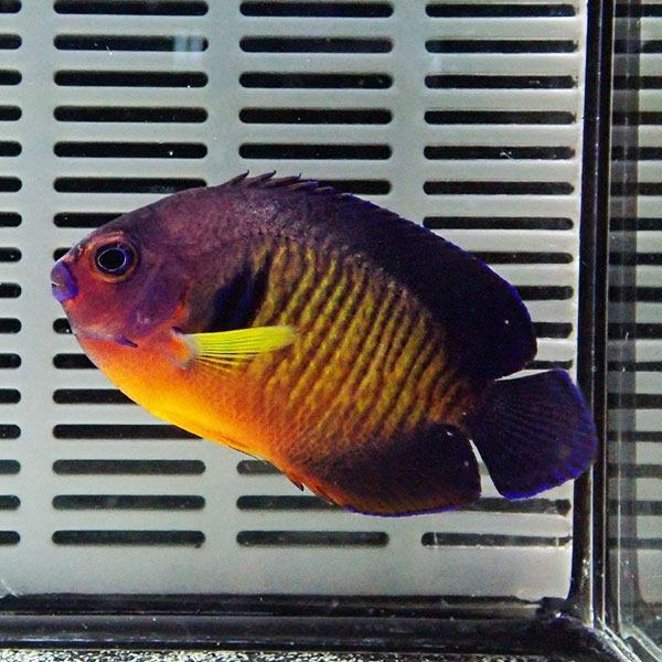  ルリヤッコ コーラルビューティー 5-7cm± (A-0251) 海水魚 サンゴ 生体