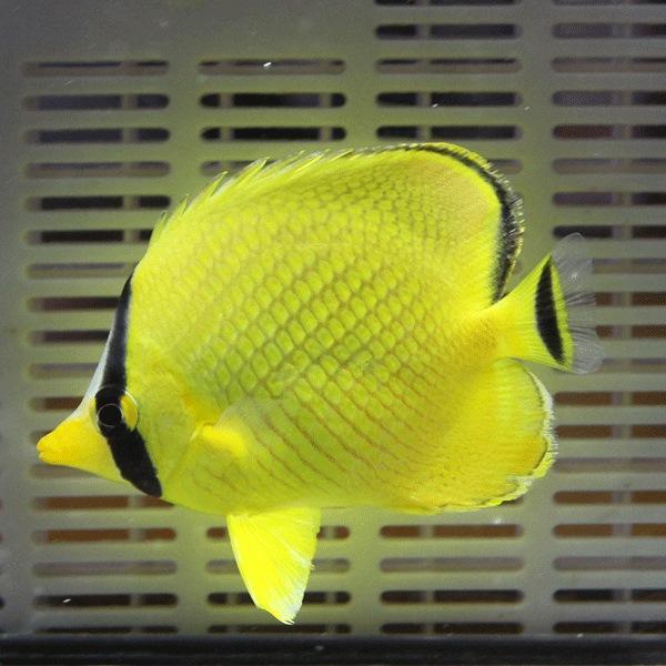  アミチョウ 4-6cm±(A-0277) 海水魚 サンゴ 生体