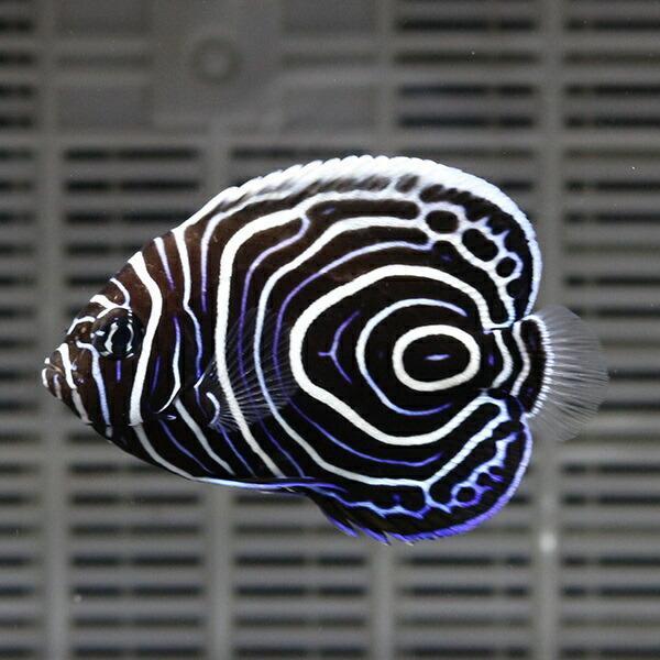 ウズマキ Sサイズ 5-6.5cm±(A-0317) 海水魚 サンゴ 生体
